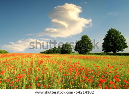 summer field of red poppies