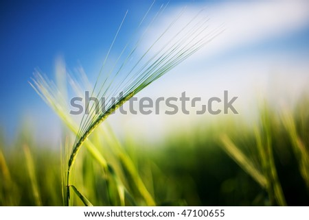 Summer field of wheat