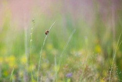 Summer field with a close up lady bug on a stalk of grass surrounded by yellow, pink, and purple wildflowers. Soft country feel.