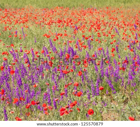 Summer field with beautiful red poppy and purple flowers (nature background).