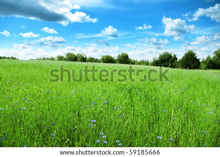 Summer field with cornflowers and blue sky.