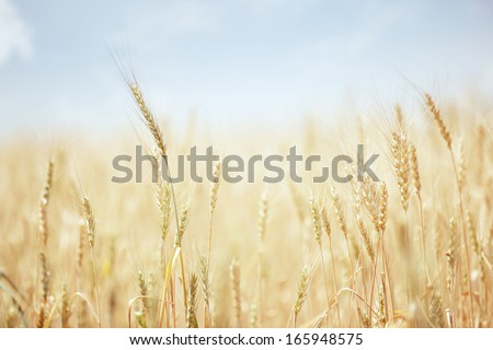 Summer field with golden wheat