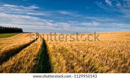 Summer field with ripe barley ears. Hordeum vulgare. Idyllic rural landscape with golden spikes in cornfield under blue sky with white clouds. Idea agriculture, farming, harvesting.