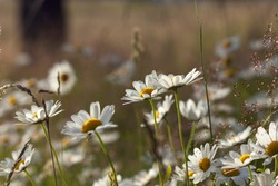 Summer field with white daisies in close up. Meadows and trees.