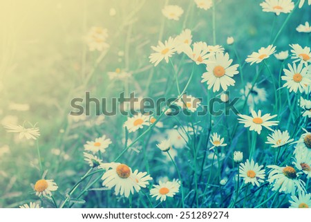 Summer field with white daisies / toned picture