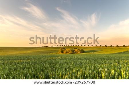 summer fields, ripening grain crop fields in Germany #209267908