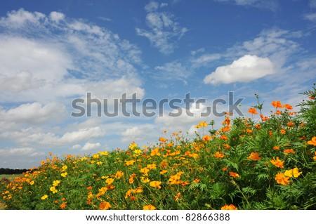 summer flower garden yellow cosmos