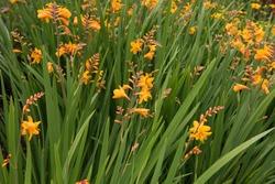Summer Flowering Bright Orange Montbretia (Crocosmia x crocosmiiflora 'Zeal Tan') Growing in a Country Cottage Garden in Rural Devon, England, UK