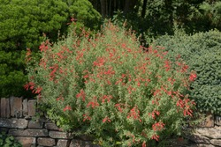 Summer Flowering Bright Red Flowers of a Californian Fuchsia Shrub (Zauschneria californica) Growing on Top of a Stone Wall in a Country Cottage Garden in Rural Devon, England, UK