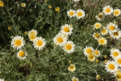 Summer Flowering Bright White and Yellow Perennial Hybrid Marguerite Daisies (Anthemis 'Susanna Mitchel') Growing in a Herbaceous Border in a Country Cottage Garden in Rural Devon, England, UK