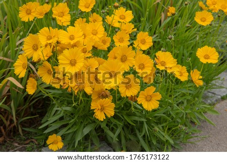 Photo of  Summer Flowering Bright Yellow Tickseed or Cutting Gold Flowers (Coreopsis 'Schnittgold') Growing in a Herbaceous Border in a Country Cottage Garden in Rural Devon, England, UK