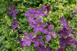 Summer Flowering Deciduous Climbing Clematis Plant (Clematis 'Polish Spirit') Growing up a Pergola in a Country Cottage Garden in Rural Devon, England, UK