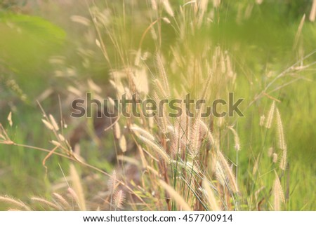 Summer flowering grass and green plants of cornfield in rural areas for design nature background. #457700914