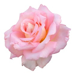 Summer flowering Hybrid Tea rose, named variety Scentsation. A fragrant pale pink flower with a hint of yellow at the center. Isolated on white with clipping path.