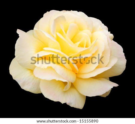 "Summer flowering yellow floribunda rose, named variety ""Golden Wedding"".  Isolation on black with clipping path."