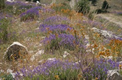 Summer flowers blooming with blue lavender , orange flowers and dry grasses