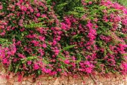 Summer flowers bougainvillea on the brick wall.