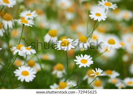 Summer flowers camomile blossoms with beautiful background blur