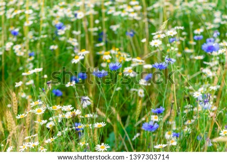 Summer flowers cornflower and chamomile on the meadow. Wildflower meadow, flower meadow, wildflowers #1397303714