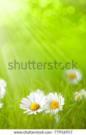 Summer flowers - daisy on green background