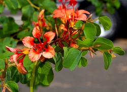 Summer  flowers of Bauhinia galpinii Red Orchid Bush with hooved petals and  green leaves flowering in summer with decorative brick red blooms adds a touch of exotic tropical splendor to the garden.