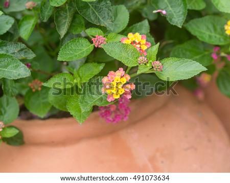 Shutterstock Summer flowers series, beautiful Lantana camara