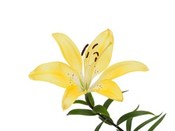 Summer flowers series, golden yellow lily flower isolated on white background.