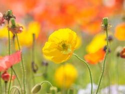 Summer flowers series, yellow corn poppy