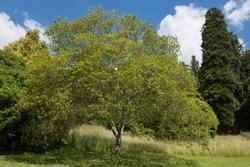 Summer Foliage of a Korean Hornbeam Tree (Carpinus turczaninowii) in a Park in Rural Devon, England, UK