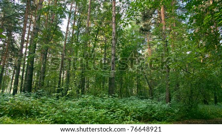 Summer forest landscape: a birch and pine trees