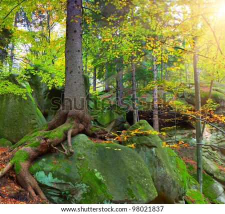 Summer forest with huge tree what grows on the rock