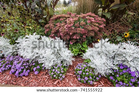 Summer Garden Annuals Background. Dusty Miller plant surrounded by colorful annuals. Dusty Miller is a hardy shade annual that is deer and pest resistant. #741555922