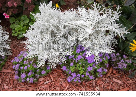 Summer Garden Annuals Background. Dusty Miller plant surrounded by colorful annuals. Dusty Miller is a hardy shade annual that is deer and pest resistant. #741555934