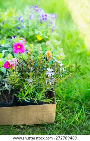 Summer garden flowers in cardboard box for plant on green grass, outdoor