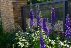 summer garden with striking, pointed flowers on a tall, sometimes towering stem. Delphiniums come in a variety of shades of purple. In the fence