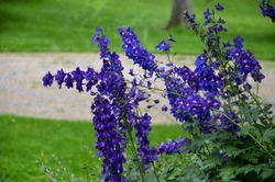 summer garden with striking, pointed flowers on a tall, sometimes towering stem. Delphiniums come in various shades of purple. nature park with lawn