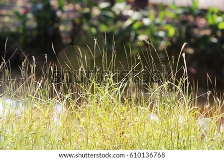 Summer grass field in sunny day and abstract nature blur background