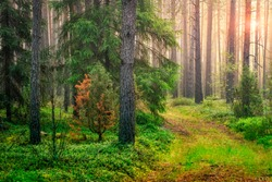 Summer green forest landscape in the morning at sunrise. Sun lights through trees. Natural woodland. Green nature. trees and pines in spring forest