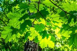 Summer green maple leaves sunlight. Green maple leaves. Maple leaves green foliage