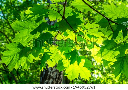 Summer green maple leaves sunlight. Green maple leaves. Maple leaves green foliage