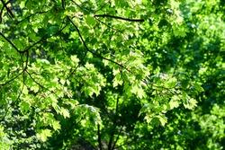 Summer green tree foliage background. Summer foliage green sun rays