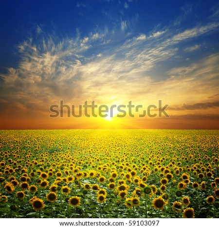 Stock Photo Summer landscape: beauty sunset over sunflowers field