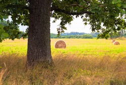 summer landscape. in the photo, a green field and sheaves of hay, in the foreground an oak tree, in the background a forest
