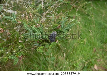 Summer Landscape of a Black Cone, Branch and Needles on an Evergreen Coniferous Forrest's Fir Tree (Abies forrestii) Growing in a Woodland Garden in Rural Devon, England, UK Zdjęcia stock ©