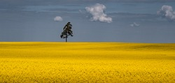 Summer landscape of blooming, yellow rapeseed field with single tree silhouette on horizon and blue skies with couple of cumulus clouds.