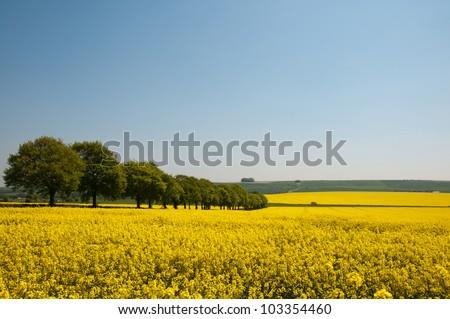 Summer landscape of canola rapeseed field in Wiltshire, UK