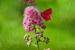 Summer landscape. Red butterfly on pink flower on a delicate green background blur.
