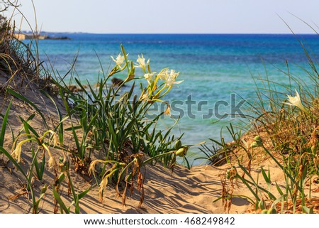 Summer landscape.Torre Guaceto Nature Reserve: Pancratium maritimum, or sea daffodil. BRINDISI (Apulia)-ITALY-Mediterranean maquis: a nature sanctuary between the land and the sea. #468249842