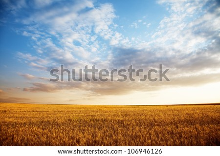 Summer landscape - wheat field at sunset