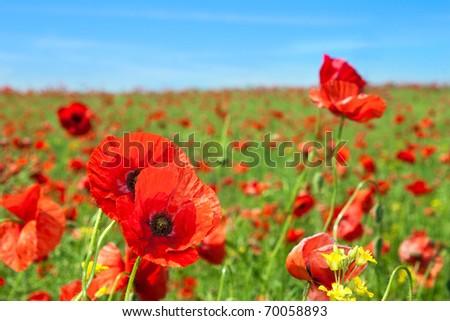 Summer landscape, wild poppy flowers field.